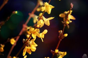 Forsythia by Pzychonoir