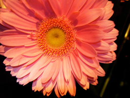 Pink Flower 1 by KCarey