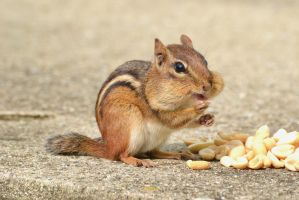 Cute Little Chipmunk by wreckingball34