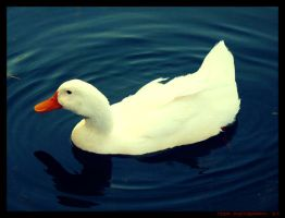 Duck-white by noor-maryam