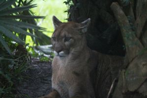 Florida Panther 2 by KaosushijinXIII