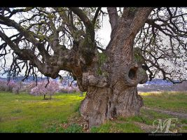 800 year old oak tree HDR by poseidonsimons-s