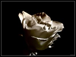 Rose 4 by mutrus