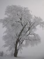 Winter Scenes - Fog Frosted Tree 2 by Qrinta