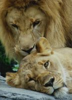 Lions by MissEgypt