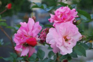 Pink roses stock by LunarStocks