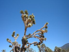 Joshua Tree by Rothar