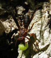 Paper Wasp with prey by Destroyah93