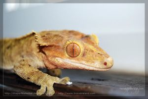 Crested Gecko by theperfectlestat