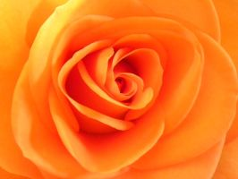 Orange Rose by artamusica