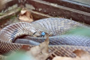 Milky Blue Eyed Snake by Sp3nc3r-H1nds