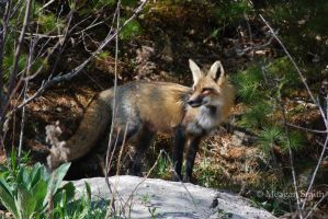 Red Fox II by Pagan-Inspiration