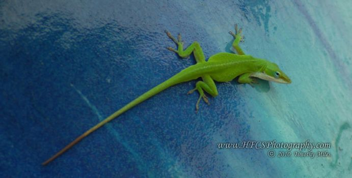 Green Anole - Sea World by HFCS