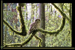 Marquam spotted owl close up by MWV