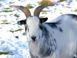 Goat by cathy001
