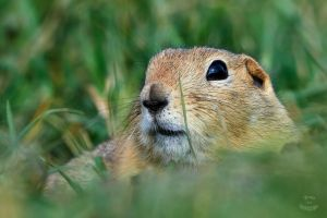 Ground-Squirrel-Peeking by JestePhotography
