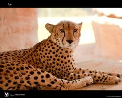 Cheetah by vinayan