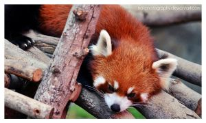 Red Panda 01. by no-photography
