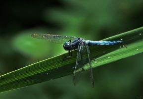 Dragonfly by LIFEisMUSIC