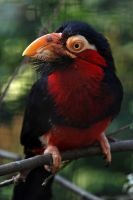 Bearded Barbet by robbobert
