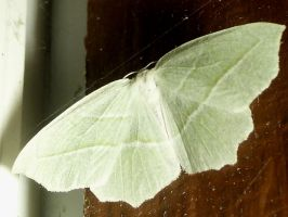 White Moth by Zeds-Stock