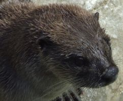 Otter close up by dtf-stock