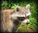 Baby Raccoon now Alone by JocelyneR