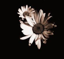 Daisies by CaseyColvin