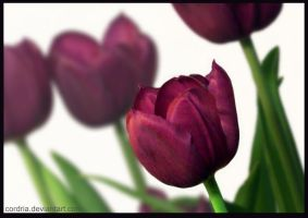 Tulips by cordria