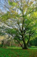 Belvoir Acer Tree by Gerard1972