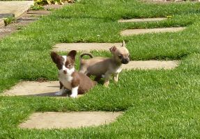 Chihuahua Puppies by aldwarke
