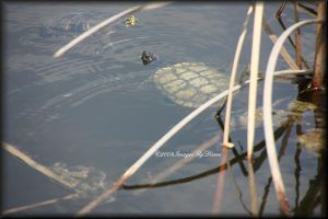 Two Turtles Swimming by SassyPants61762