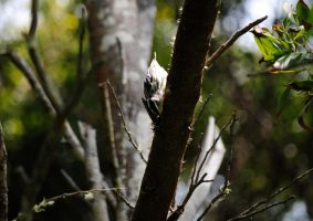 Black-and-white Warbler II. by swampliquor