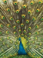 Peacock stock 2 by FairieGoodMother