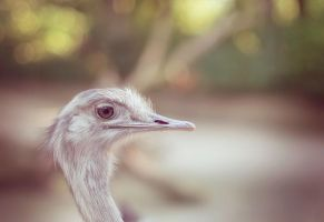 Ostrich by Real-Nela