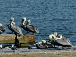 Pelicans And Seagulls by Matthew-Beziat