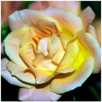 Pink and Yellow Rose by sametimenxtyr