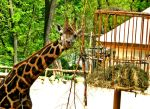 Giraffes eating time ! by LucyNote