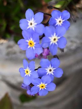 Forget-Me-Nots by Beckwee