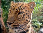 Colchester Zoo Leopard by dcgi
