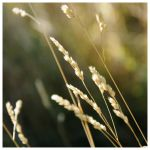 Wheat 2 by ashali