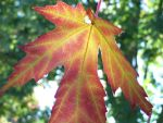 A sunlit leaf by Bookmouse