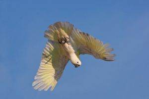 Sulphur Crested Cockatoo 231 by chezem