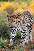 Leopard pt 2 by Solitary-Motion
