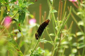 Elephant Hawkmoth Caterpillar by EarthHart