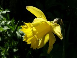 Narcissus yellow 3 by XxFairyNaturexX