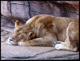 Dozing Lioness by LarkPash