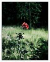 Single Red Flower by MattLew by PhotographersClub