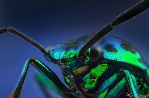 Metallic Shield Bug by AlHabshi