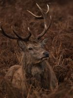 Red Deer Stag 02 - Nov 09 by mszafran